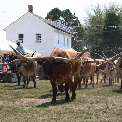 The longhorns are coming! Chisholm Trail Days 2017